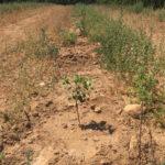 PLANTATION POMELOS petite